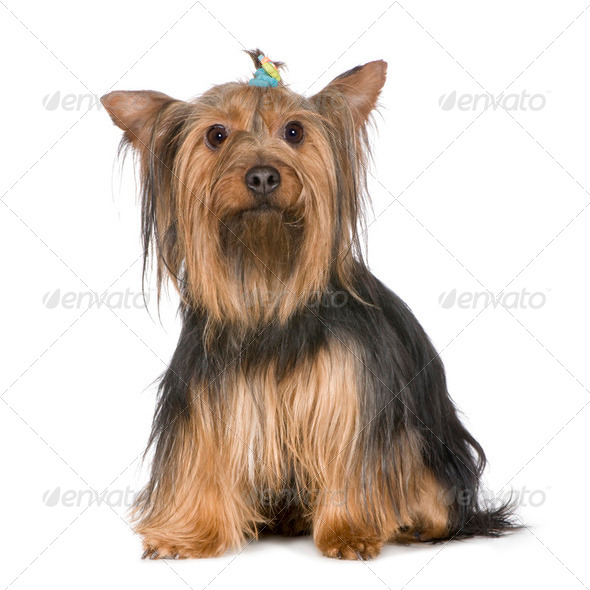 Yorkshire Terrier (9years) - Stock Photo - Images