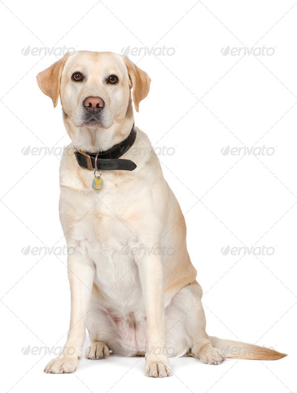 Labrador (4 years) - Stock Photo - Images