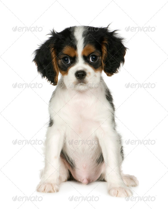 Cavalier King Charles Spaniel (3,5 months) - Stock Photo - Images