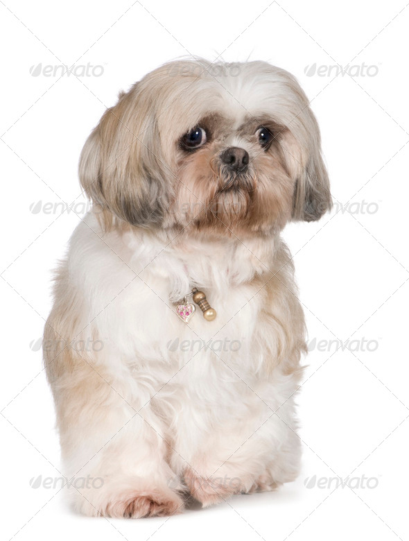 Shih Tzu (11 years) - Stock Photo - Images