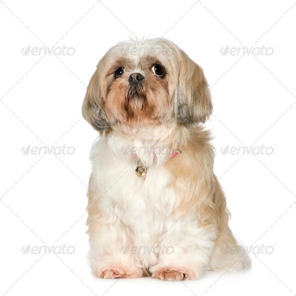 Shih Tzu (11 years) - Stock Photo - Images