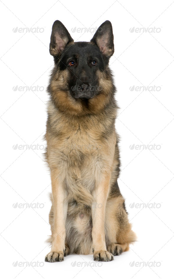 german shepherd (2 years) / alsatian, police dog - Stock Photo - Images