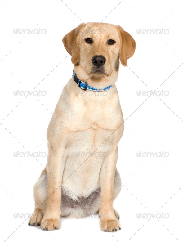 Labrador (6 month) - Stock Photo - Images