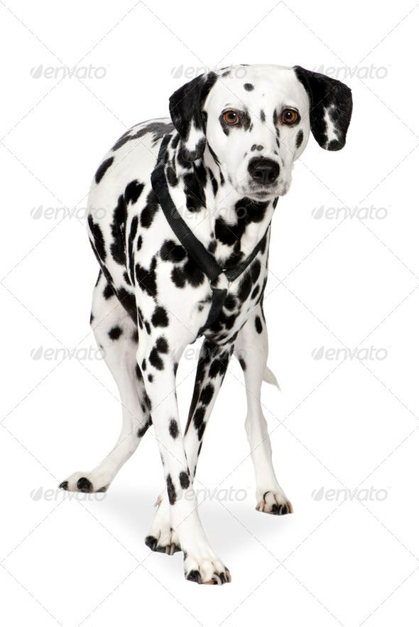 Dalmatian (7 years) - Stock Photo - Images