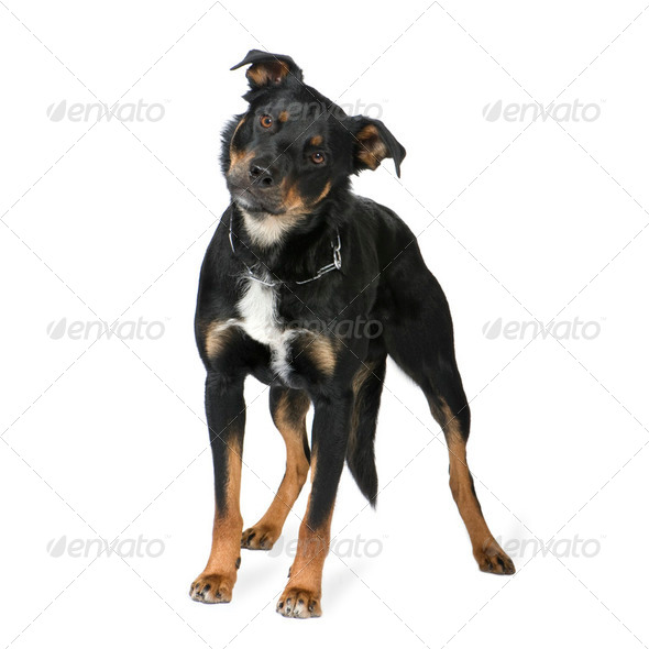 Crossbreed Beauceron (18 months) - Stock Photo - Images
