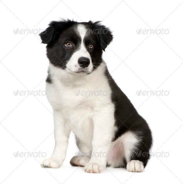 Border Collie Puppy - Stock Photo - Images