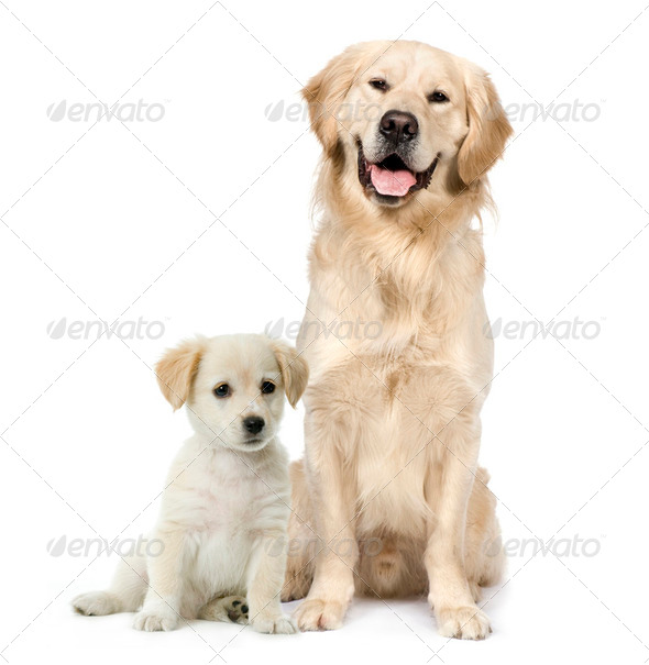 Golden Retriever and a Labrador puppy sitting in front of white background - Stock Photo - Images
