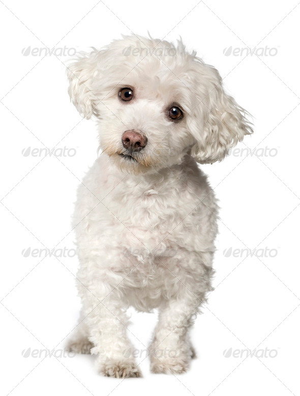 Maltese dog (10 years) - Stock Photo - Images