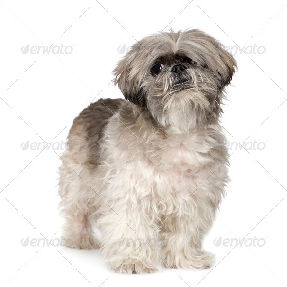 Lhasa Apso (6 months) - Stock Photo - Images
