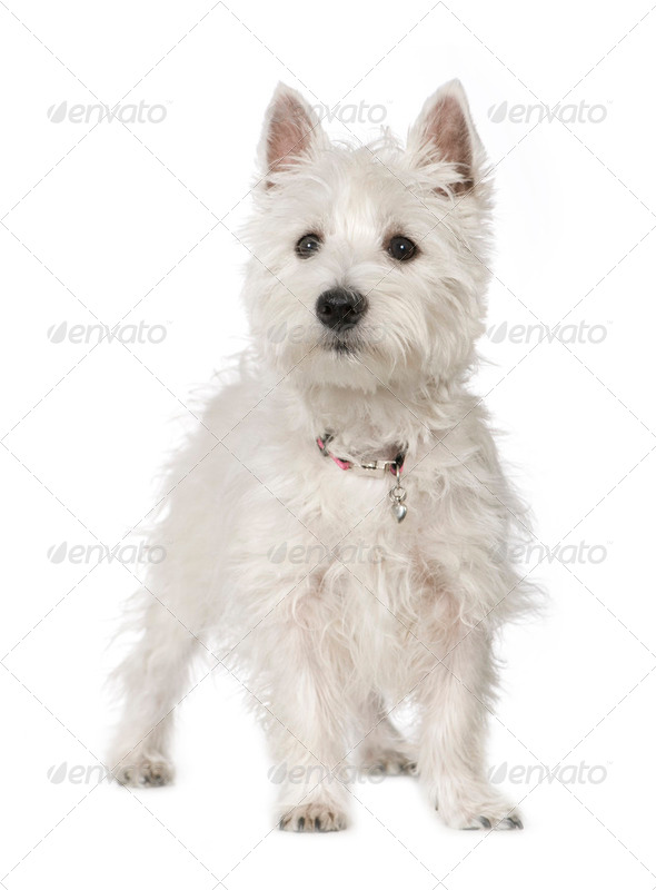 West Highland White Terrier (5 months) - Stock Photo - Images