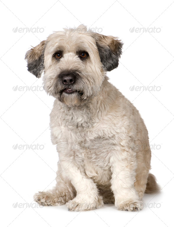 Tibetan Terrier (5 years) - Stock Photo - Images