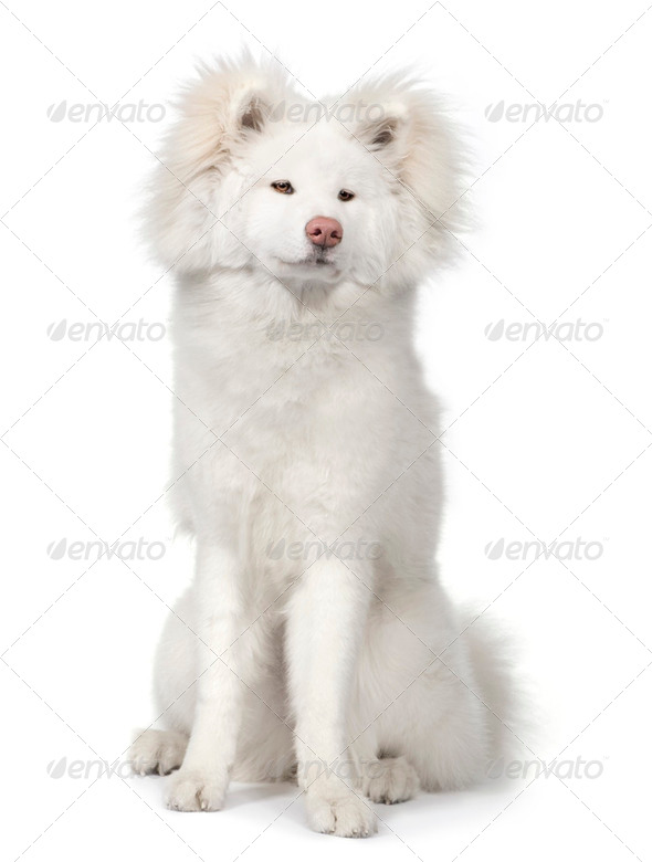long haired Akita inu (9 months) - Stock Photo - Images