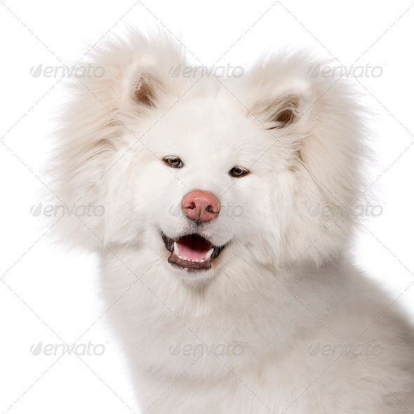 Akita inu (9 months) - Stock Photo - Images