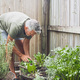 Senior man cuts rosemary in courtyard. Home gardening, herbs and plants in garden - PhotoDune Item for Sale