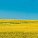 Rural Landscape With Blossom Of Canola Colza Yellow Flowers. Rapeseed, Oilseed Field Meadow - PhotoDune Item for Sale