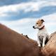 Jack russel terrier between soil rows - PhotoDune Item for Sale