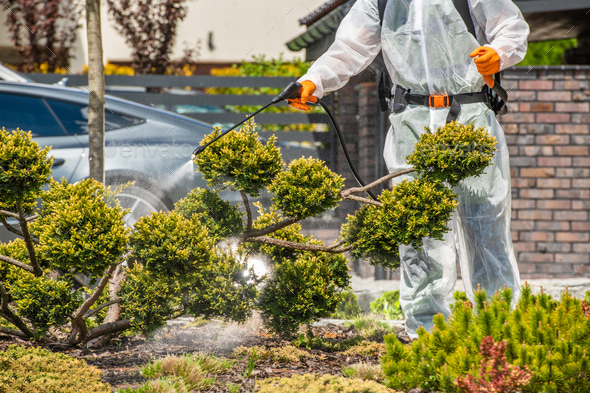 Gardener Spraying Fungus Infected Plants in Backyard Garden - Stock Photo - Images