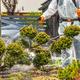 Gardener Spraying Fungus Infected Plants in Backyard Garden - PhotoDune Item for Sale