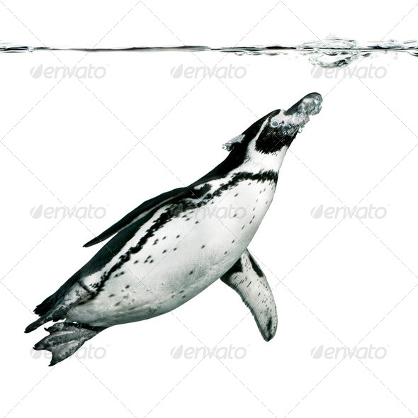 Humboldt Penguin - Stock Photo - Images