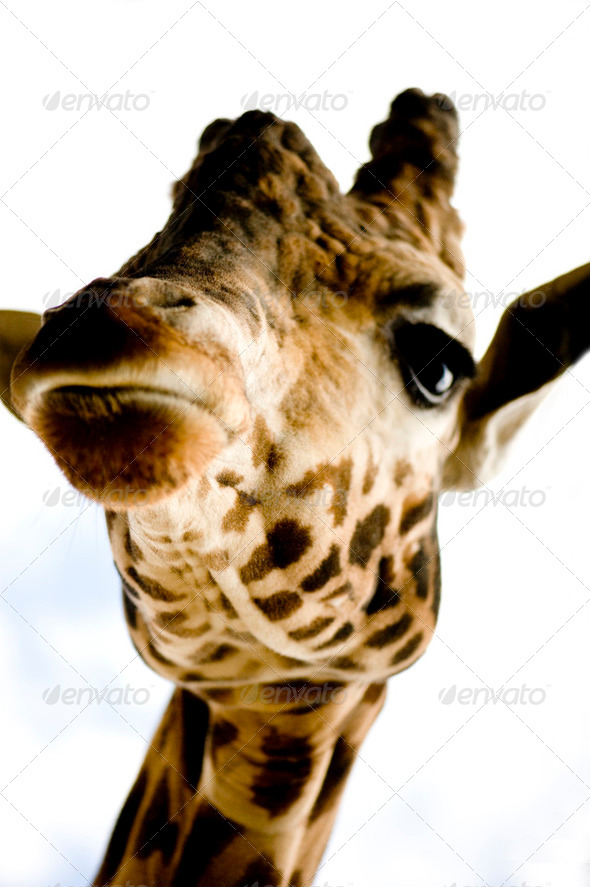 Giraffe - Stock Photo - Images