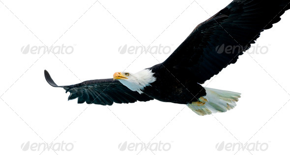 Bald Eagle (22 years) - Stock Photo - Images
