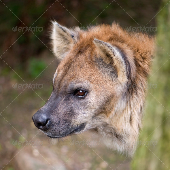 hyena - Stock Photo - Images