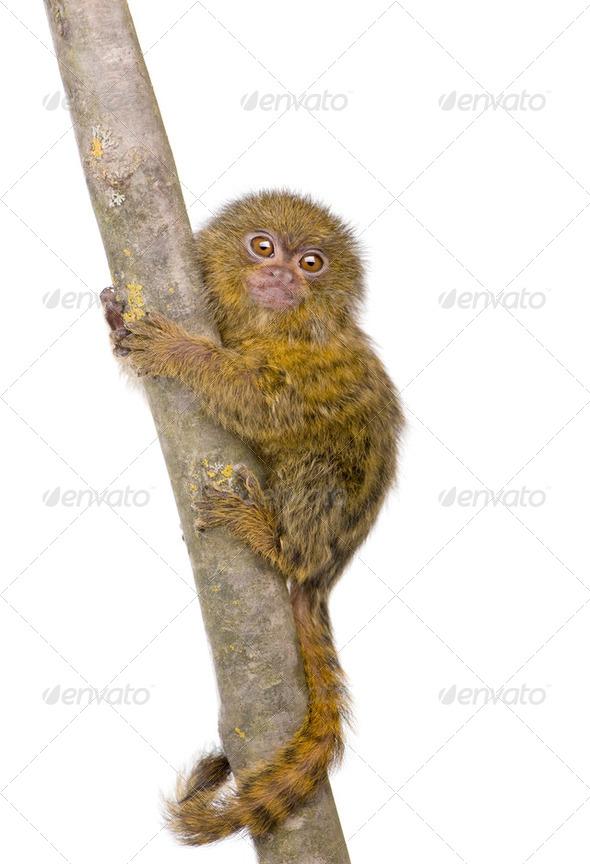 Pygmy Marmoset (5 weeks) - Callithrix (Cebuella) pygmaea - Stock Photo - Images