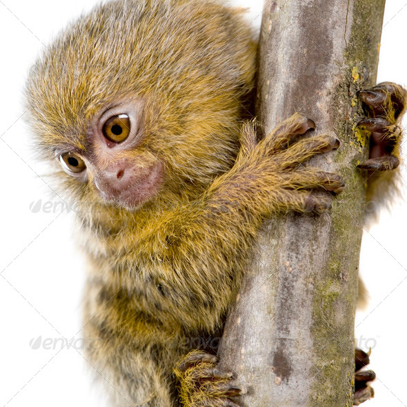Pygmy Marmoset (5 weeks) - Callithrix (Cebuella) pygmaea - Stock Photo - Images