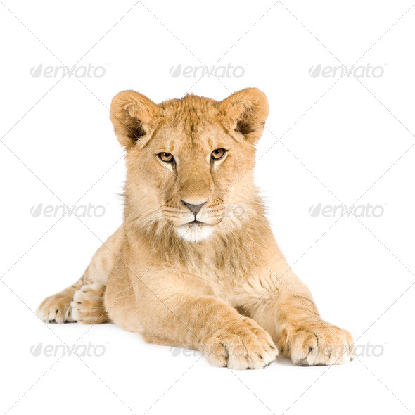 Lion cub (8 months) - Stock Photo - Images