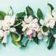 Flat-lay of white apple blossom flowers over light blue background, top view, flat lay - PhotoDune Item for Sale