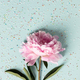 Flat-lay of Beautiful peony flower over pastel blue background - PhotoDune Item for Sale