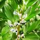 Flowering broad bean - PhotoDune Item for Sale
