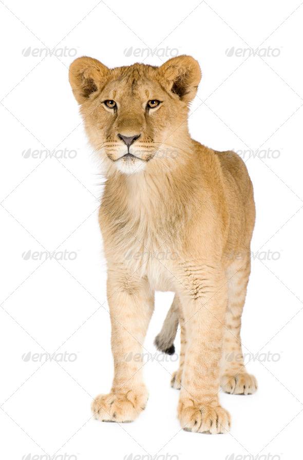 Lion cub (8 months) - Stock Photo - Images