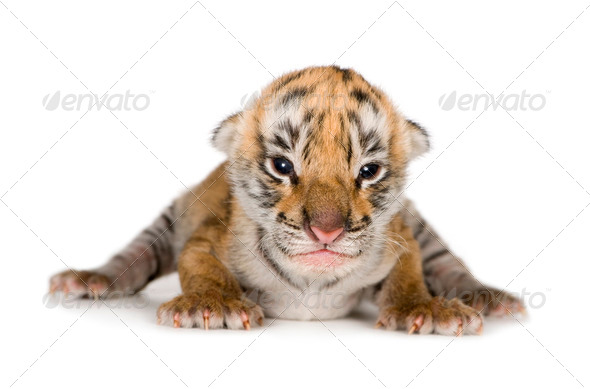 Tiger cub (4 days) - Stock Photo - Images