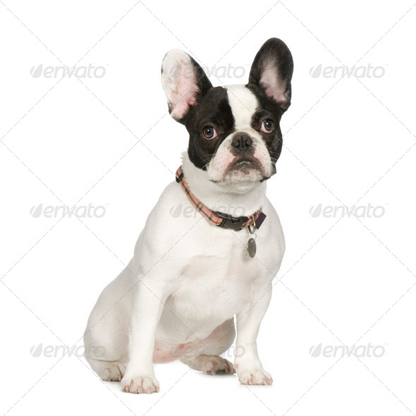 French Bulldog (8 months) - Stock Photo - Images