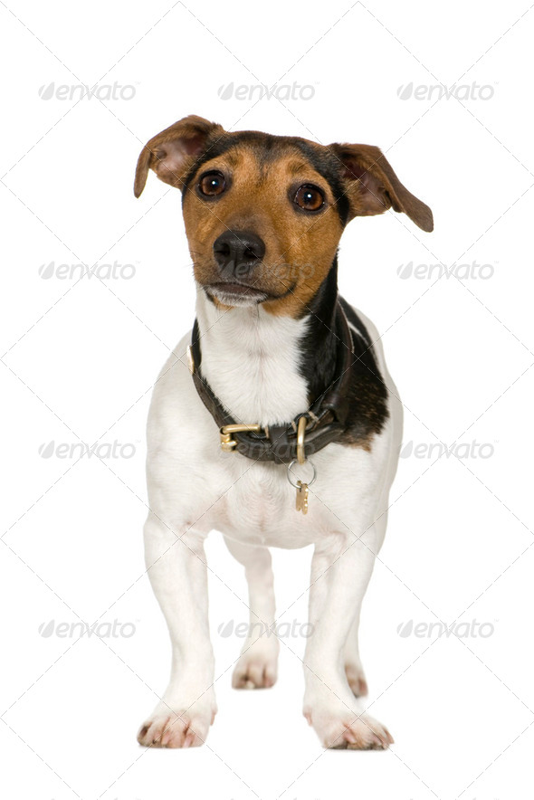 Jack russell (2 years) - Stock Photo - Images