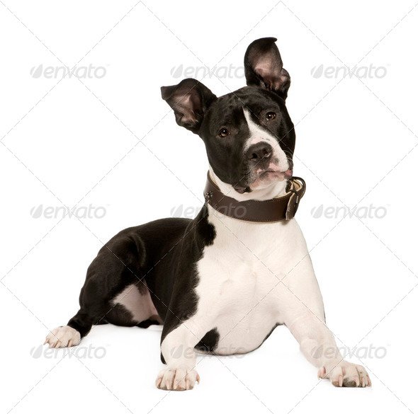 American Staffordshire terrier (8 months) - Stock Photo - Images