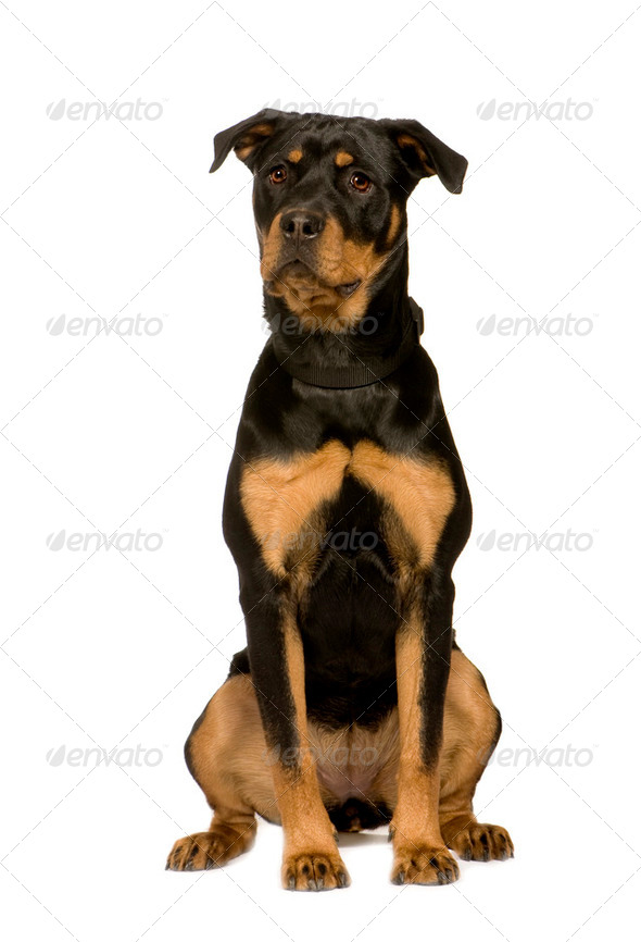 Rottweiler (7 months) - Stock Photo - Images