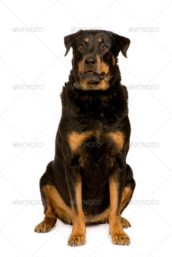 Bastard (8 years) - Stock Photo - Images