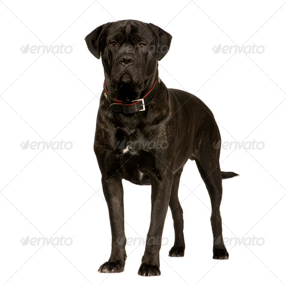 Cane Corso (2 years) - Stock Photo - Images
