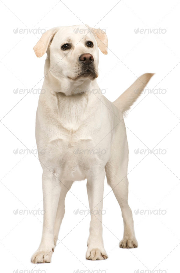 Labrador (1 year) - Stock Photo - Images