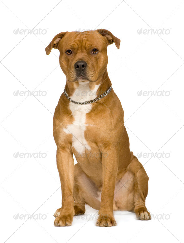 American Staffordshire terrier (2 years) - Stock Photo - Images