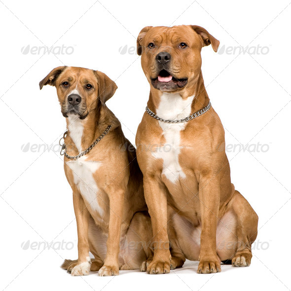 Two crossbreed dogs - Stock Photo - Images