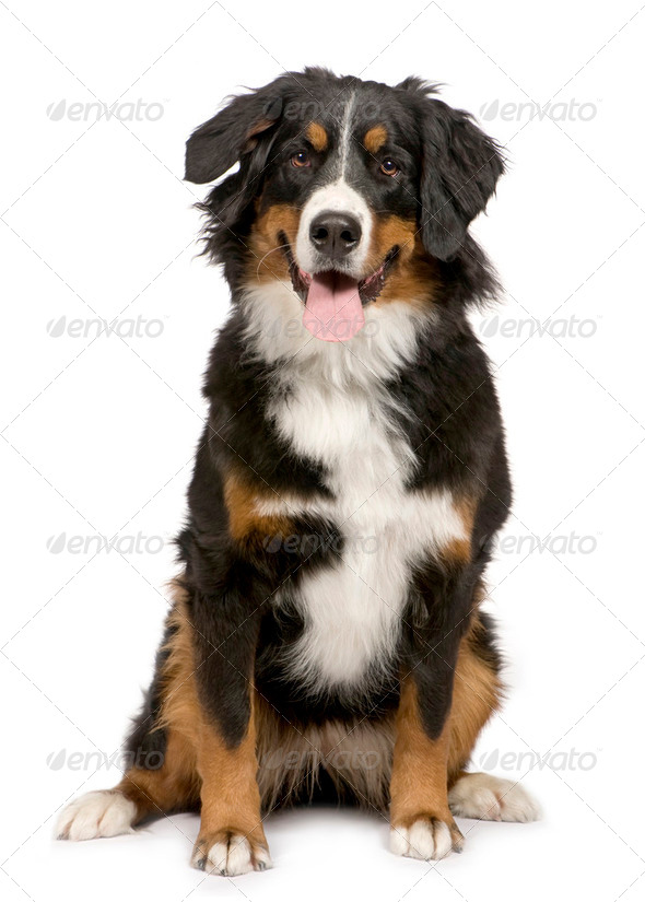Bernese mountain dog (1 year) - Stock Photo - Images