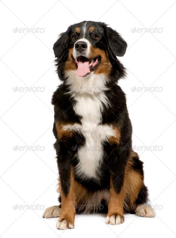 Bernese mountain dog (1 year) - Stock Photo - Images
