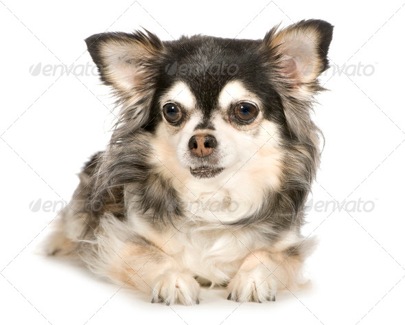 Long haired Chihuahua (11 years) - Stock Photo - Images