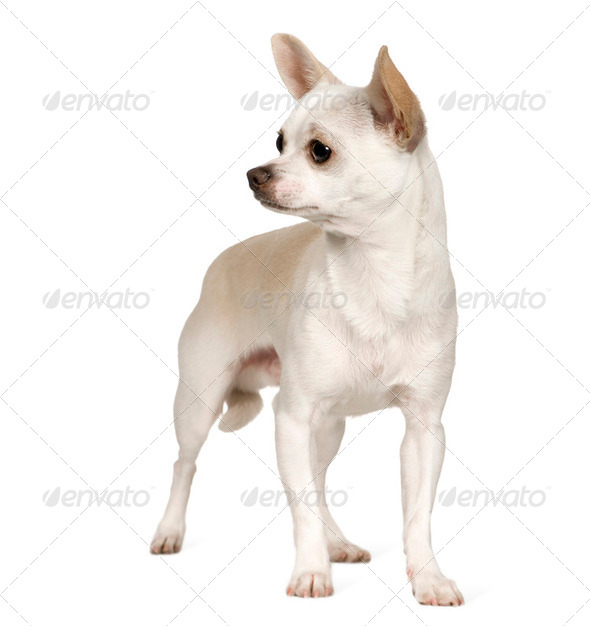 Chihuahua (9 months) - Stock Photo - Images