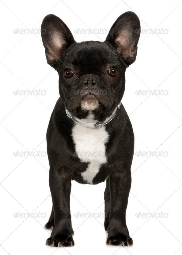 French Bulldog (6 months) - Stock Photo - Images