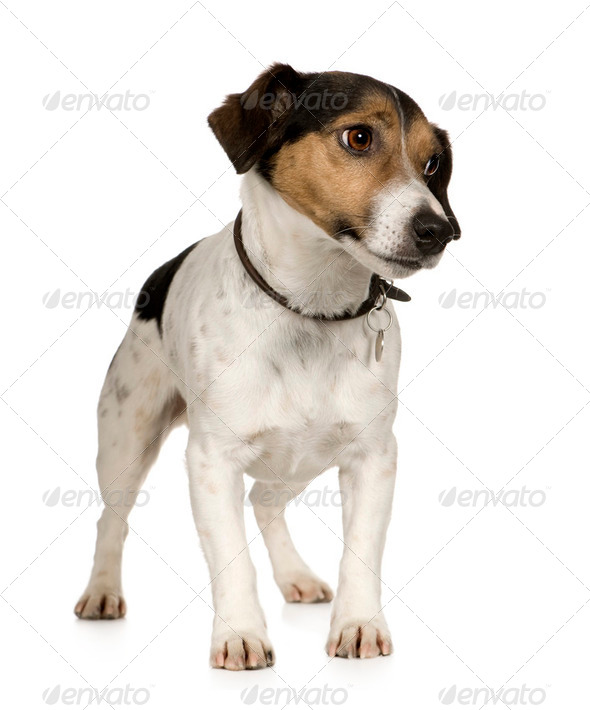 Jack russell (4 years) - Stock Photo - Images