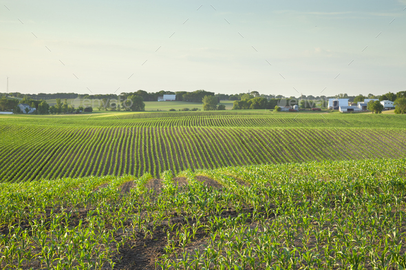 Field of young corn and farms on rolling hills at sunset on a spring day in central Minnesota - Stock Photo - Images